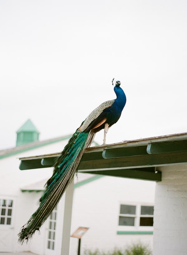 gaby-j-peacock-vegas010